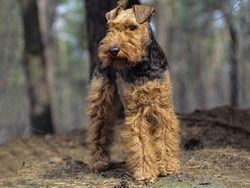 Chien Welsh Terrier
