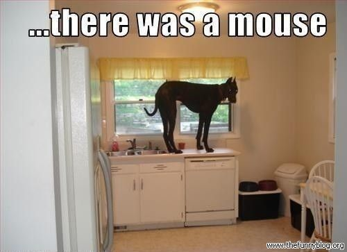 ...there was a mouse: Great Danes, Funny Pics, Funny Dogs, Funny Animal Pictures, Funny Pictures, Dogs Humor, Big Spiders, True Stories, Big Dogs