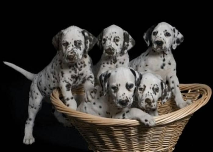Dalmatian Dogs | Purebred Registered Dalmatian Puppies For Sale for sale in Bridgewater ...