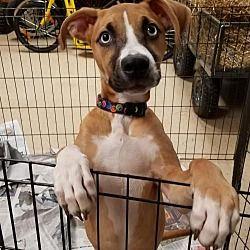Potomac, Maryland Boxer. Meet Xena, a for adoption