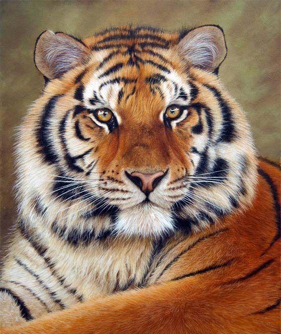 siberian-tiger-feline-eyes.jpg (566×673)
