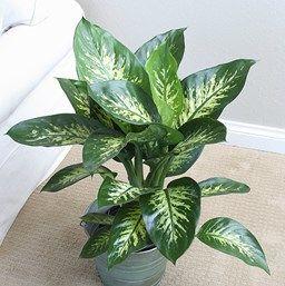 29 best dieffenbachia images on pinterest indoor house for Planta ornamental venenosa dieffenbachia