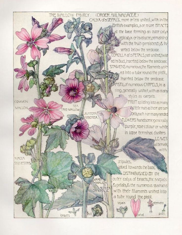 Mallow -  Wild Flower Botanical Print by Isabel Adams - Antique Print
