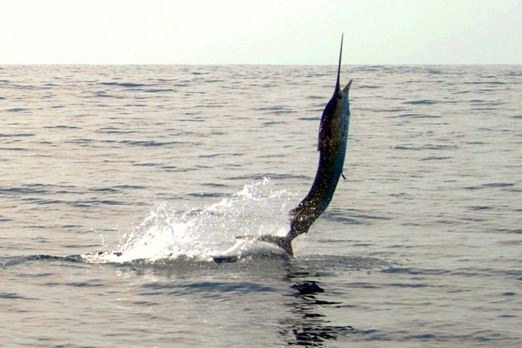 Use This Catch And Release Technique While In Los Suenos http://gocostaricafishing.com/news/view/321/Use_This_Catch_And_Release_Technique_While_In_Los_Suenos.html?source=pi