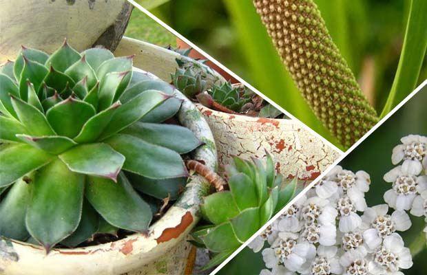 helikobakterija biljke