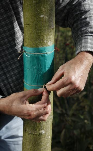 Im Herbst klettern die Frostspanner-Weibchen in die Obstbäume, um ihre Eier abzulegen. Mit Leimringen lässt sich ein Frostspanner-Befall verhindern. Für den Erfolg müssen Sie allerdings ein paar wichtige Regeln beachten.