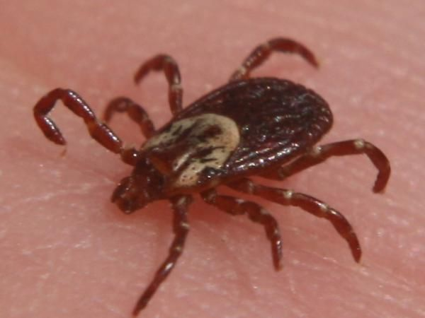 Michigan Sees 1st Rocky Mountain Spotted Fever Case Since 2009