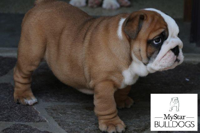 cucciolo di bulldog inglese da MyStar Bulldogs