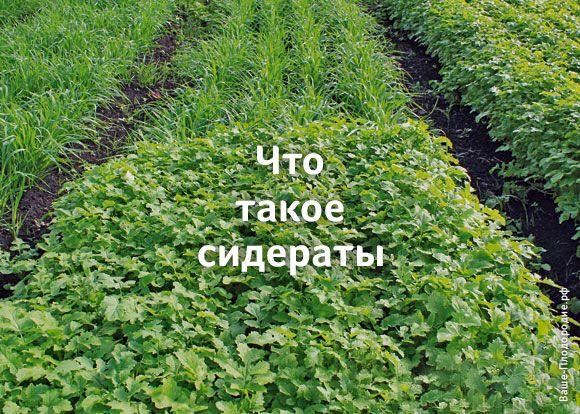 Сидераты — это растения или смесь растений, выращиваемые для улучшения структуры почвы, мощного оздоровления, обогащения ее органикой и питательными веществами.