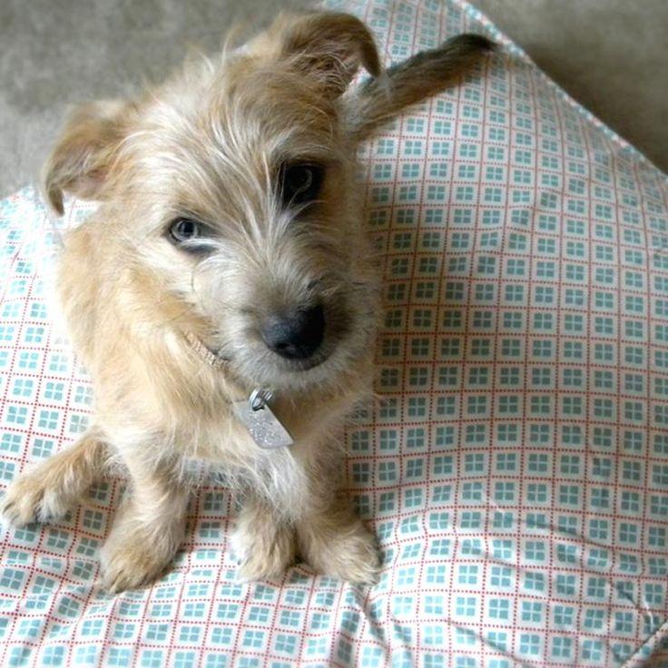 Cute Little Scruffy Dogs For Sale