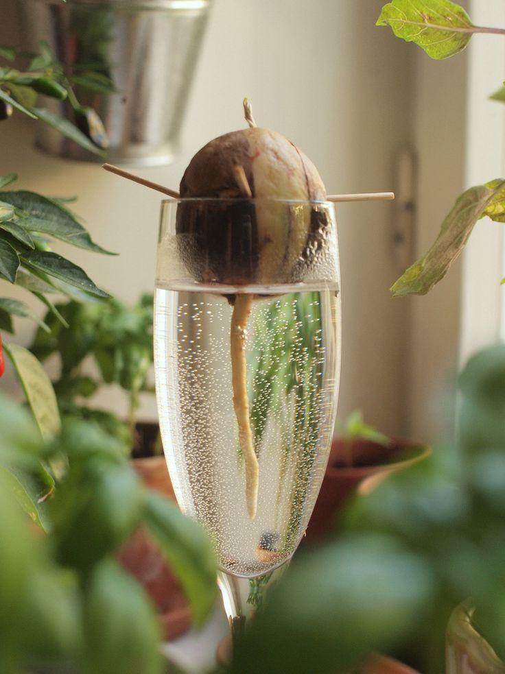 die besten 25 avocado pflanze ideen auf pinterest avocado baum wachsen lassen pflanzen und. Black Bedroom Furniture Sets. Home Design Ideas