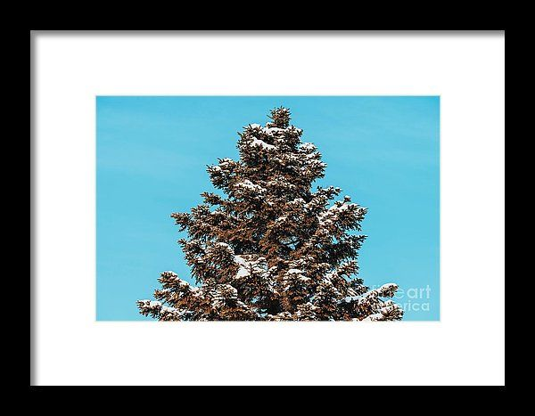 Pine Tree Covered In Winter Snow Framed Print