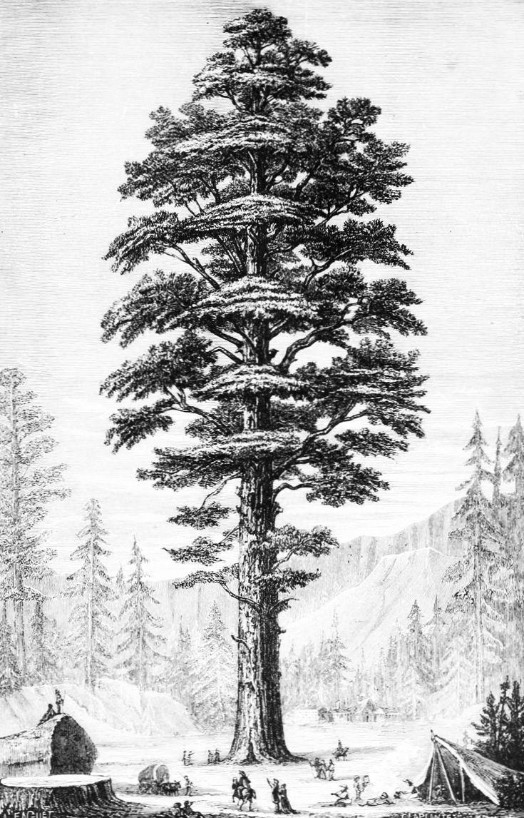 the illustration of giant sequoia sequoiadendron