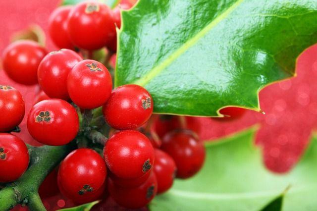 Aprendamos de flores. Hoy hablamos sobre el Acebo. http://floresparahoy.com/plantas-de-interior-acebo/