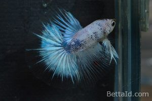 Ikan Cupang Halfmoon Marble Dragon HM62. Memiliki kedokan sehat, dasi lurus, tubuh yang proporsional, bersisik mengkilap, dan mental berani. #ikan #ikancupang #halfmoon #bettafish #marble #dragon