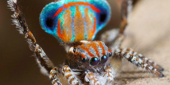 Bellissimo con i suoi colori accesi: il ragno pavone conquista tutti