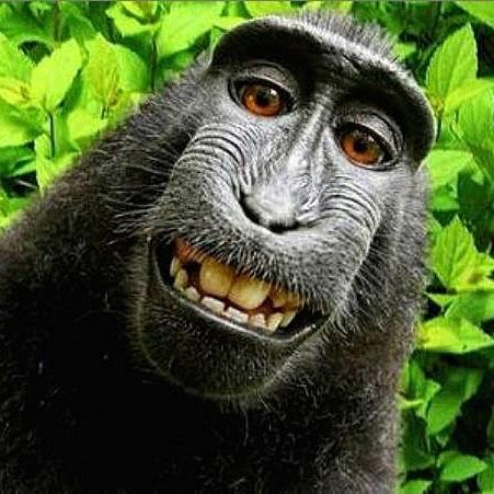 A fascinating and fun listen with insights in to how this monkeys selfie caused a huge international legal battle... http://ift.tt/2A10uQN  #injury #help #lawyers #legal #personalinjury #personalinjurylawyers #goldcoast #brisbane #australia #compensation #illnesses #complications #workinjury #accident #backinjuries #motoraccident #roadaccidents #rehabilitation #rehab #neckinjury #witnesses #queensland #workinjury #reviews #monkey #naruto #monkeyselfie #legal
