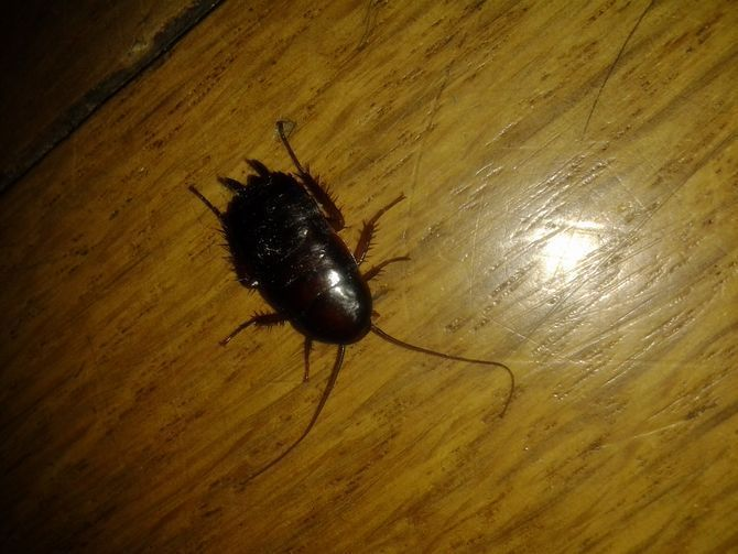 Tiny Brown Bugs In Kitchen And Bathroom Http Lvluxhome Net Tiny Brown Bugs In Kitchen And Bathroom Html In 2020 Get Rid Of Waterbugs Brown Bugs Palmetto Bugs
