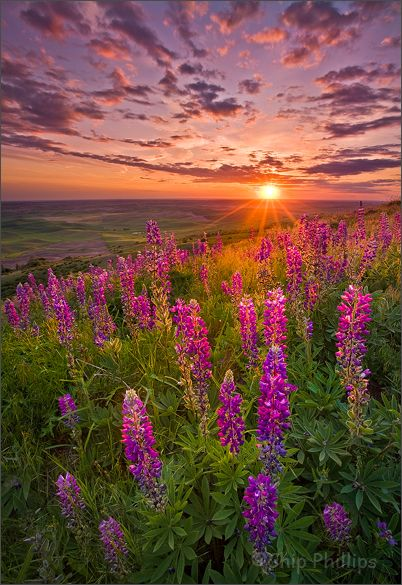 Lupines in the Palouse