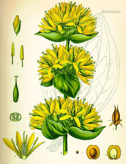 yellow gentian root is a bitter herb used to treat digestive disorders and states of exhaustion from chronic diseases. It stimulates the liver, gal bladder and digestive system, strengthening the overall human body. Internally, it is taken to treat :        liver complaints      indigestion      gastric infections      aneroxia