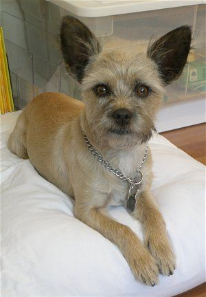 cairn chihuahua 1000 images about terrier mixes on pinterest chihuahuas 440