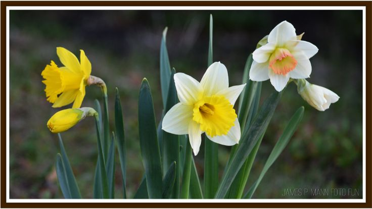 Took a short walk this morning in the sun and saw these beautiful daffodils.