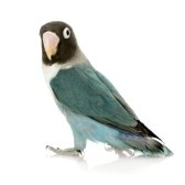 Blue Masked -Agapornis personata Lovebird in front of a white background stock photography