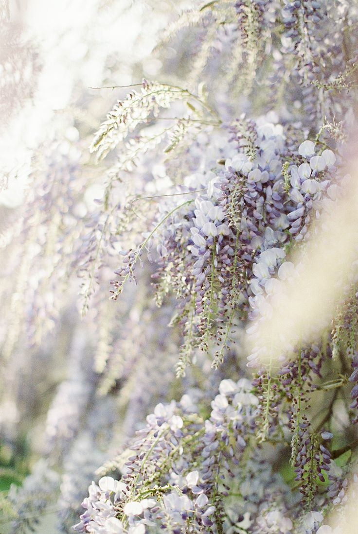 for the love of wisteria 08