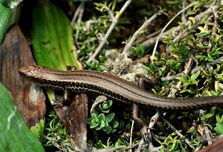 Dept. of Conservation: general advice on how to attract skinks and geckos to your garden.