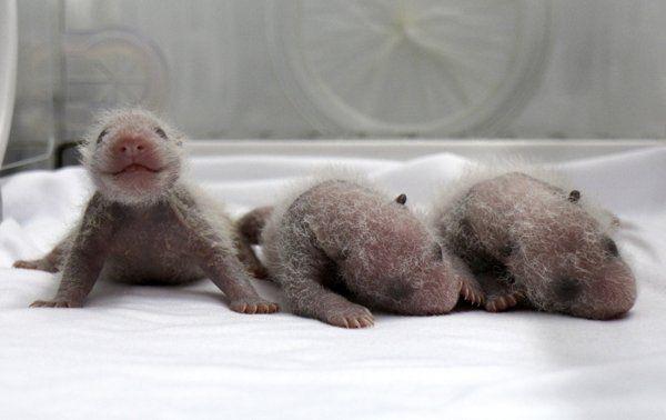   Bayi panda kembar tiga di Cina - Yahoo News Indonesia