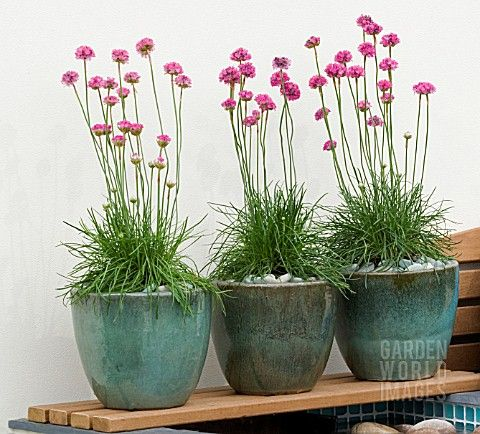 Armeria maritima (sea thrift) in ceramic pots. perfect for a touch of color during the Winter months