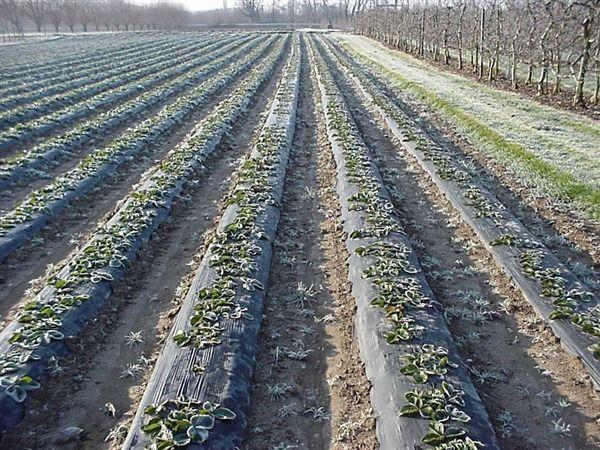 Pacciamatura agricola su campo di fragole