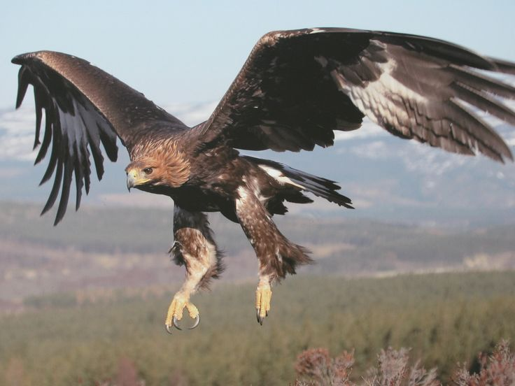 Golden Eagle Bird Picture Gallery