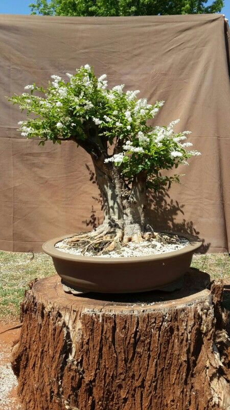 Chinese privet dug out of garden 2011 first time it flowered trunk base 17 cm height 56 cm