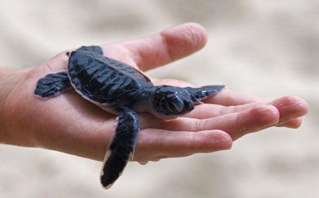 Baby Green Turtle on the Perhentian islands Malaysia