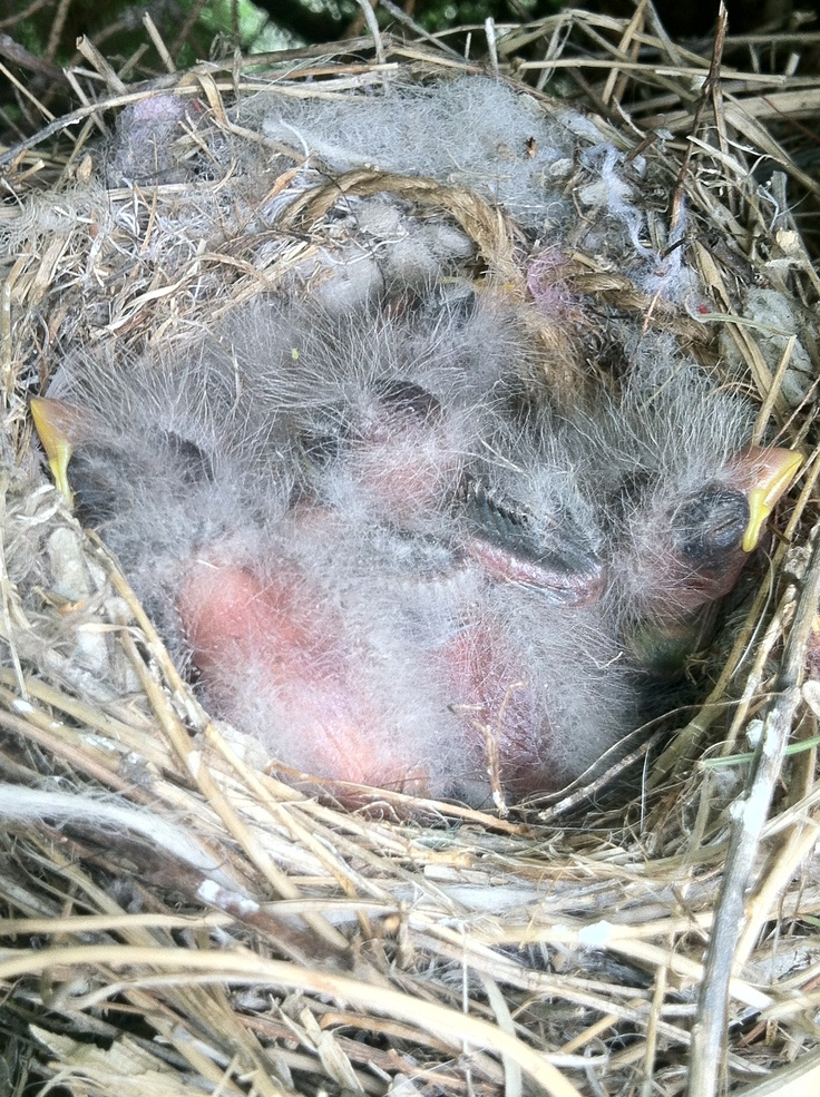 Day 6 of bird hatching. All eggs are hatched but only 5 of 6 birds survived. 1 bird died shortly after hatching. It wouldn't have done well as it was suffering from birth defects. But the 5 brothers/sisters carry on trying to hold up their big fat heads. Funny little birds!