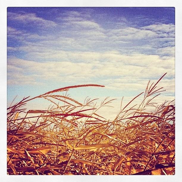 """""""Weekend Walk... Through A Corn Field In The Prairies"""