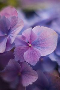 Hydrangea Photograph - Soft Blue Hydrangea by Mike Reid