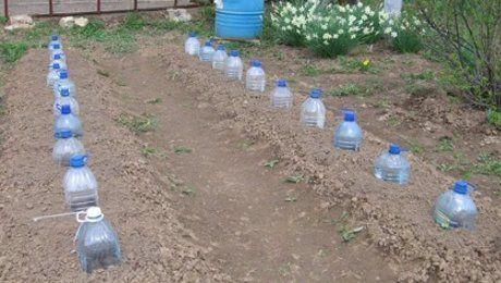 3 способа выращивания огурцов: в бочке, в мешках и бутылках