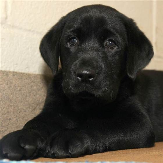 8 haftalık siyah Labrador Retriever köpek yavrusu