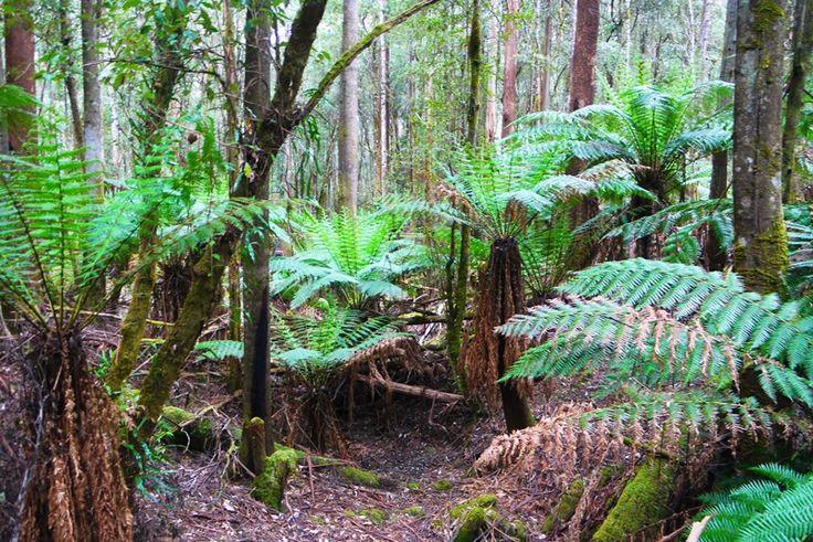 Park Narodowy Mount Field w Tasmanii