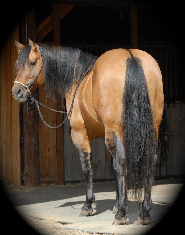 Stallion Poco Blackburn 955