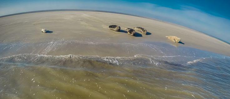 Dat Grijze- en Gewone zeehonden twee verschillende soorten zijn is goed zichtbaar op deze foto (Gewone zeehond links, Grijze zeehond rechts). Grijze zeehonden zijn verder te herkennen aan hun lange, spitse neus met neusgaten die parallel aan elkaar lopen.