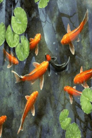 Download gold fishes mobile screensavers for your cell for Koi pond screensaver