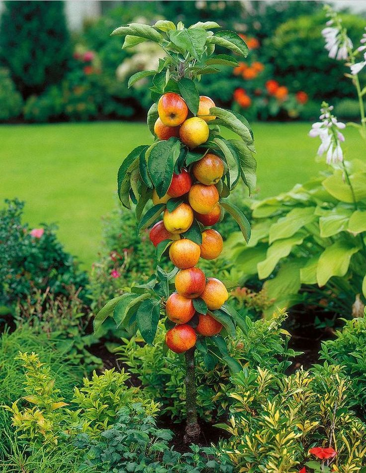 24 Best Fruit Trees Images On Pinterest