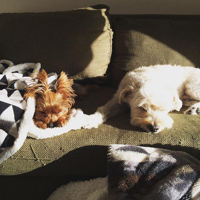 #犬 #愛犬 #わんこ #多頭飼い  #マルプー #マルプー犬 #マルチーズ  #マルチーズミックス #トイプードル  #トイプードルミックス #ミックス犬  #ヨークシャーテリア #ヨーキー #癒し #yorkshireterrier #Yorkie #dog  #doglover #ひなたぼっこ