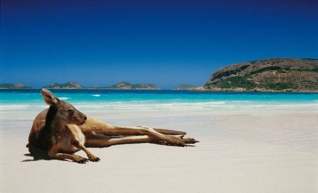 Kangaroos lounging on pristine beaches.