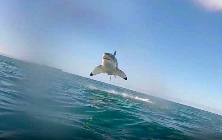 Great White..appears to be flying haha amazing