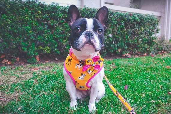 French Bulldog Girl Dog Harness Frenchie Boston Terrier With
