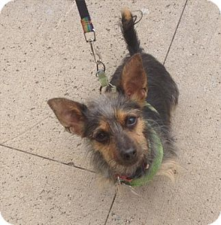 Freeport, NY - BOBBI AND THE STRAYS, NO KILL, Terrier (Unknown Type, Small) Mix. Meet Fritz, a dog for adoption. http://www.adoptapet.com/pet/10900149-freeport-new-york-terrier-unknown-type-small-mix